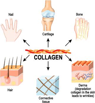 collagen in human body hair growth